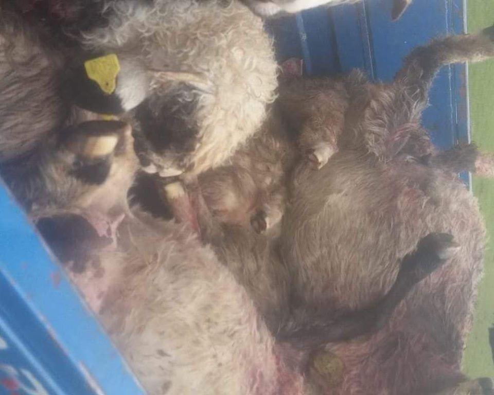 Kurtlar koyunlara saldırdı