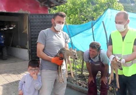 Ünye'de Yavru Karacalar Koruma Altına Alındı