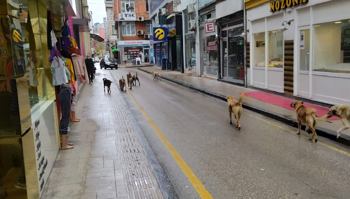 Sürü Halinde Gezen Başıboş Köpekler Korkutuyor