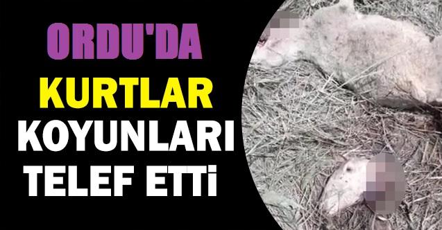 KURTLAR KOYUNLARA SALDIRDI