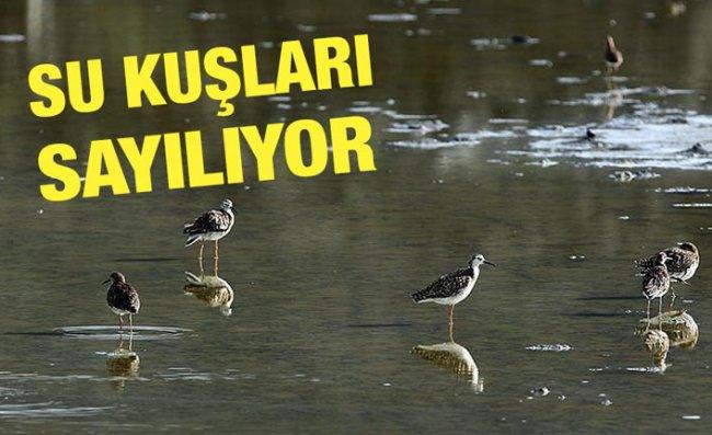 ORTA VE DOĞU KARADENİZ'DEKİ SU KUŞLARI SAYILIYOR